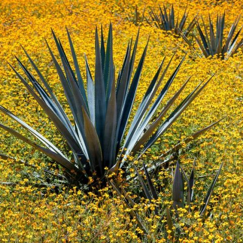 Haas Brothers' Jake Lustig on the Agave Crisis